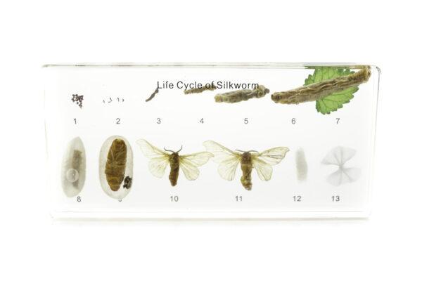 """Коллекция """"Развитие насекомых с полным превращением"""" (Шелкопряд)"""