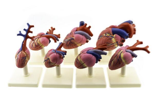 Серце хребетних тварин